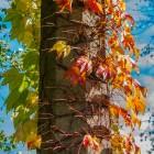 Mit halbem Herbst berankter Laternenpfahl